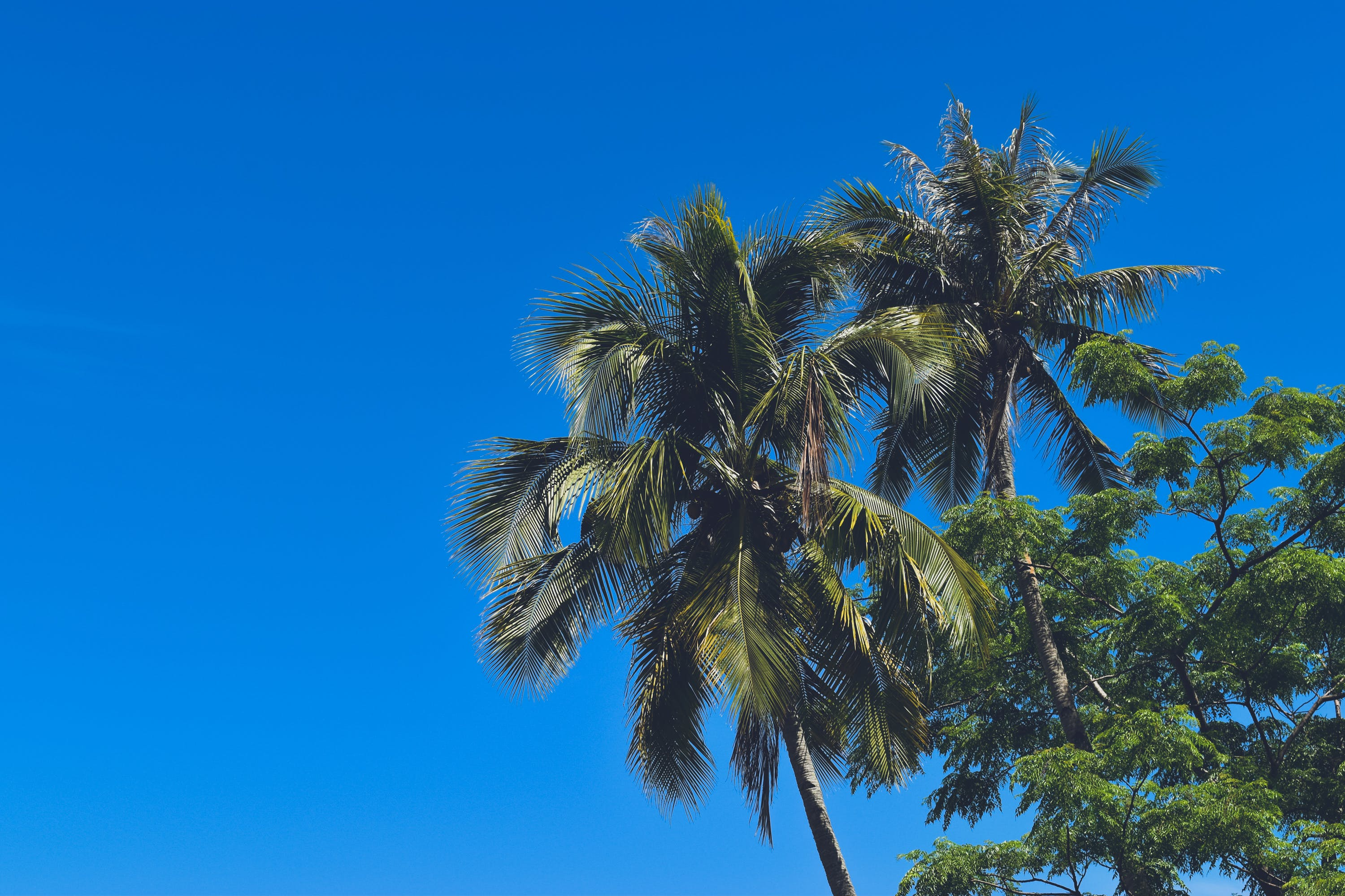 Free stock photo of coconut trees