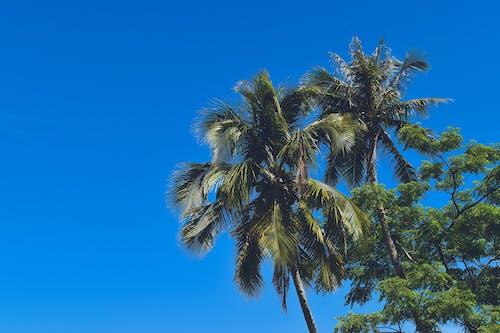 Foto profissional grátis de coqueiros