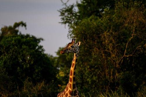 Fotobanka sbezplatnými fotkami na tému cicavec, Krk, Safari, voľná príroda