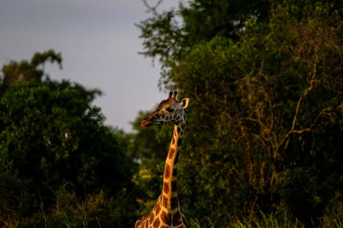 Foto profissional grátis de animais selvagens, animal, fotografia animal, gargalo