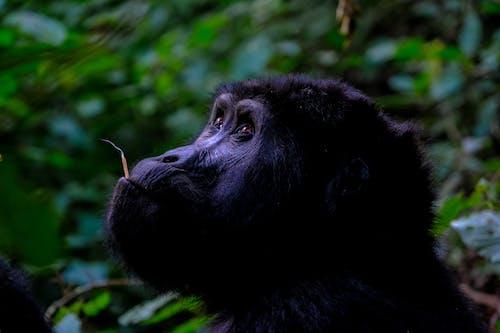 動物, 動物攝影, 可愛, 大猩猩 的 免费素材照片