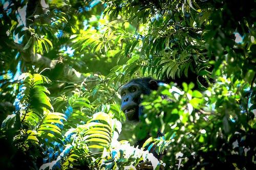 Δωρεάν στοκ φωτογραφιών με άγρια φύση, δέντρο, ζώο, μαϊμού