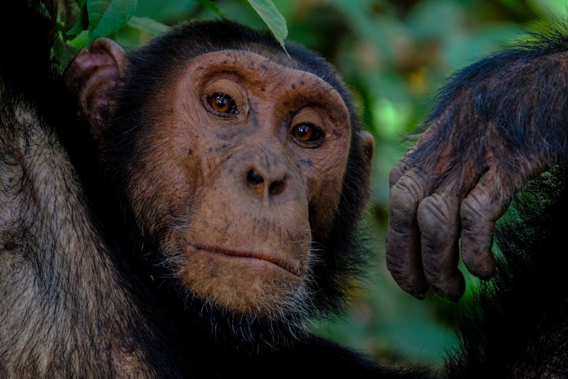 állat, állatfotók, csimpánz