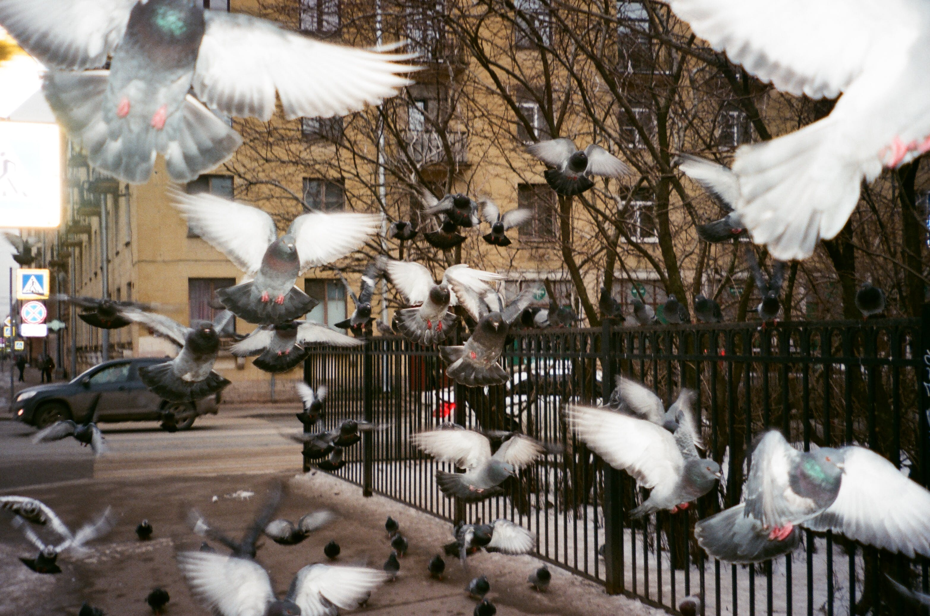 Flock of Pigeons Near Black Fence