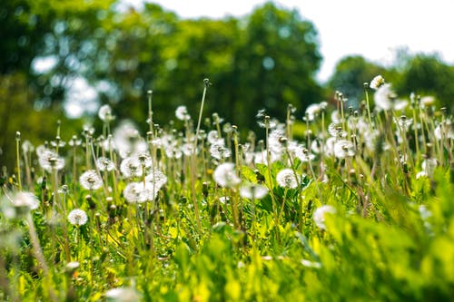 Shallow Focus Photography of White Dandelion Field