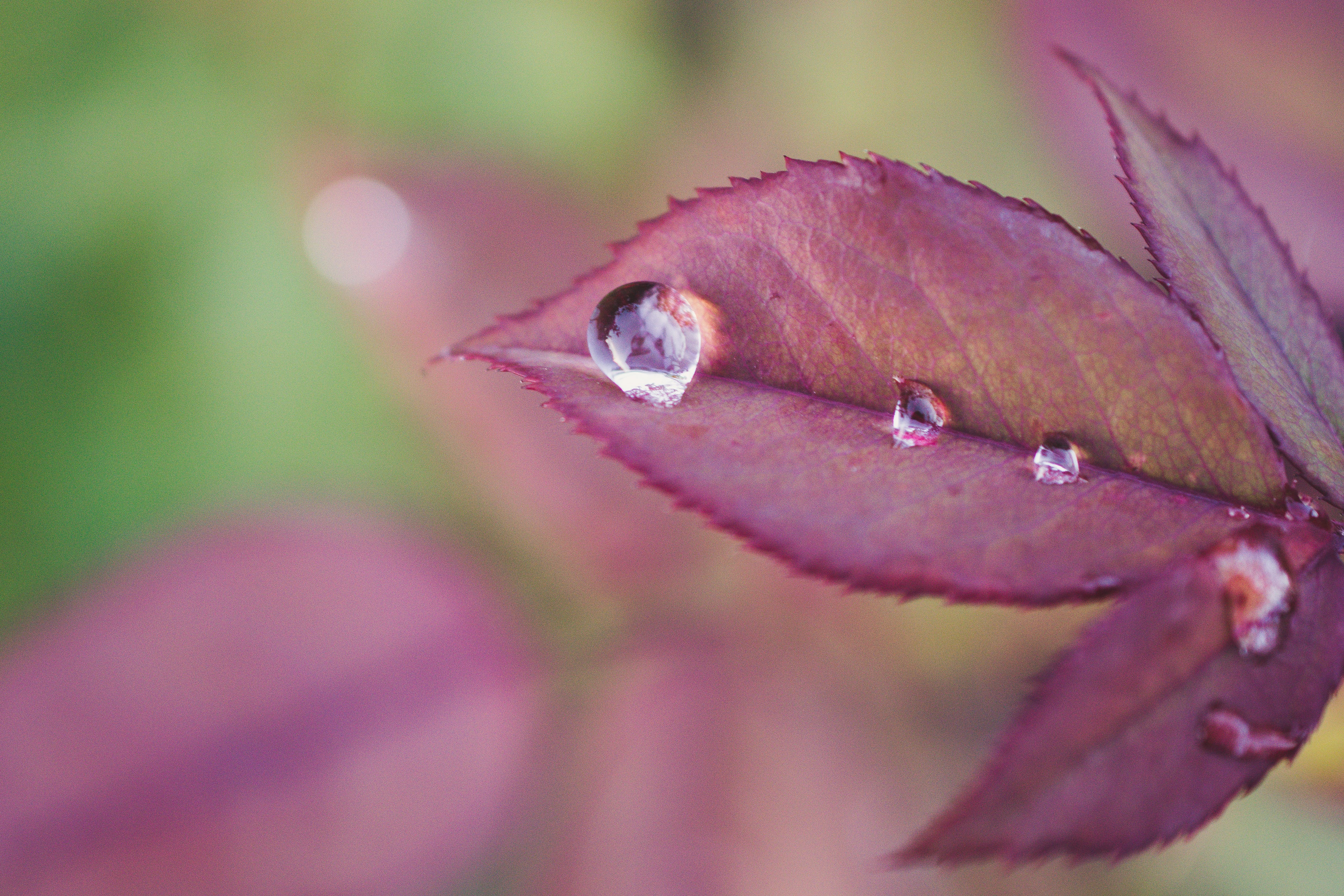Shallow Focus Photography of Purple Leaf With Morning Dew