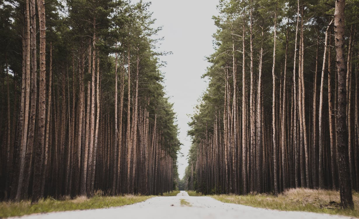 dagslys, eventyr, fyrretræ
