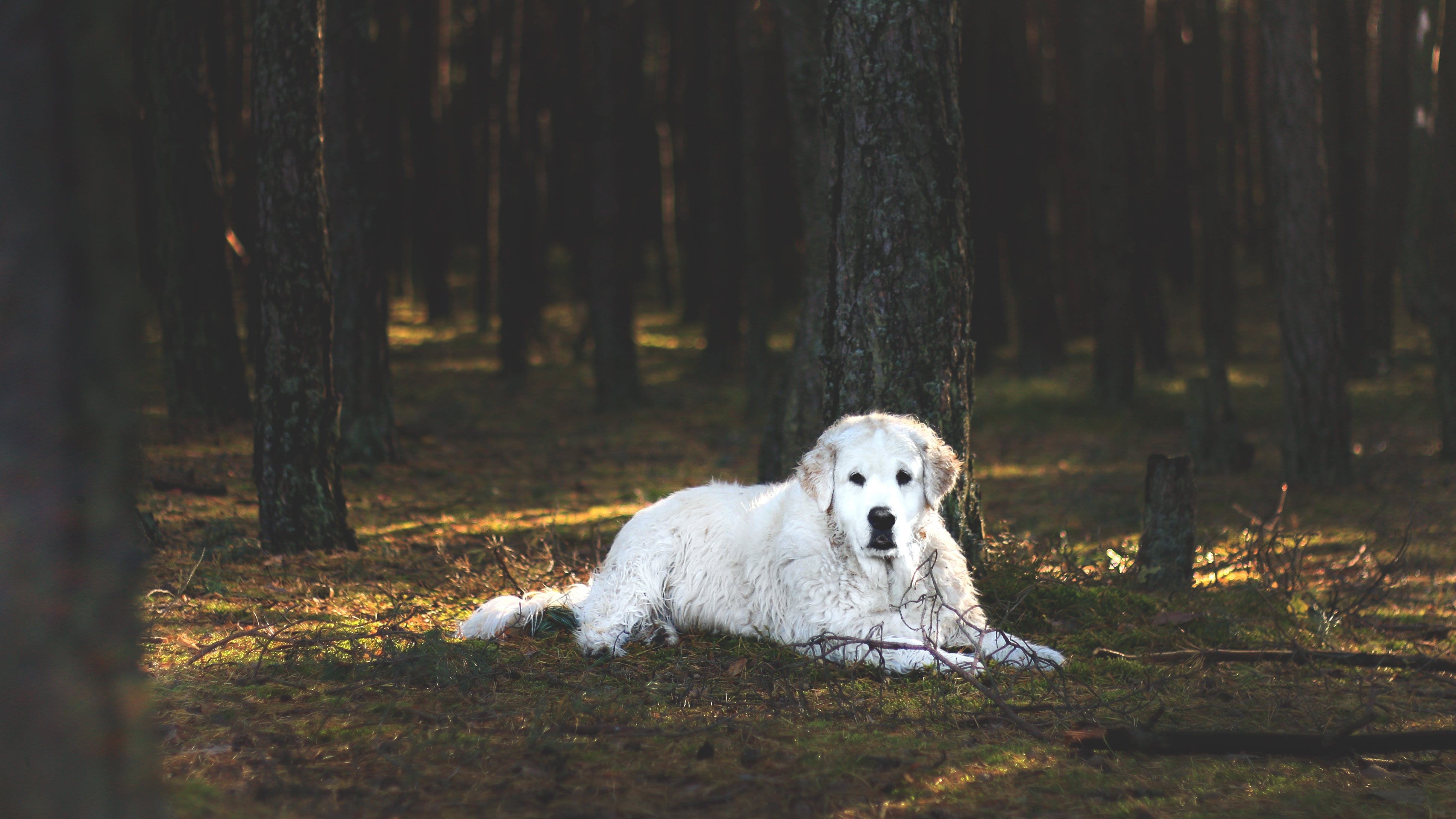 Adult White Kuvasz Laying Down on Floor in Forest