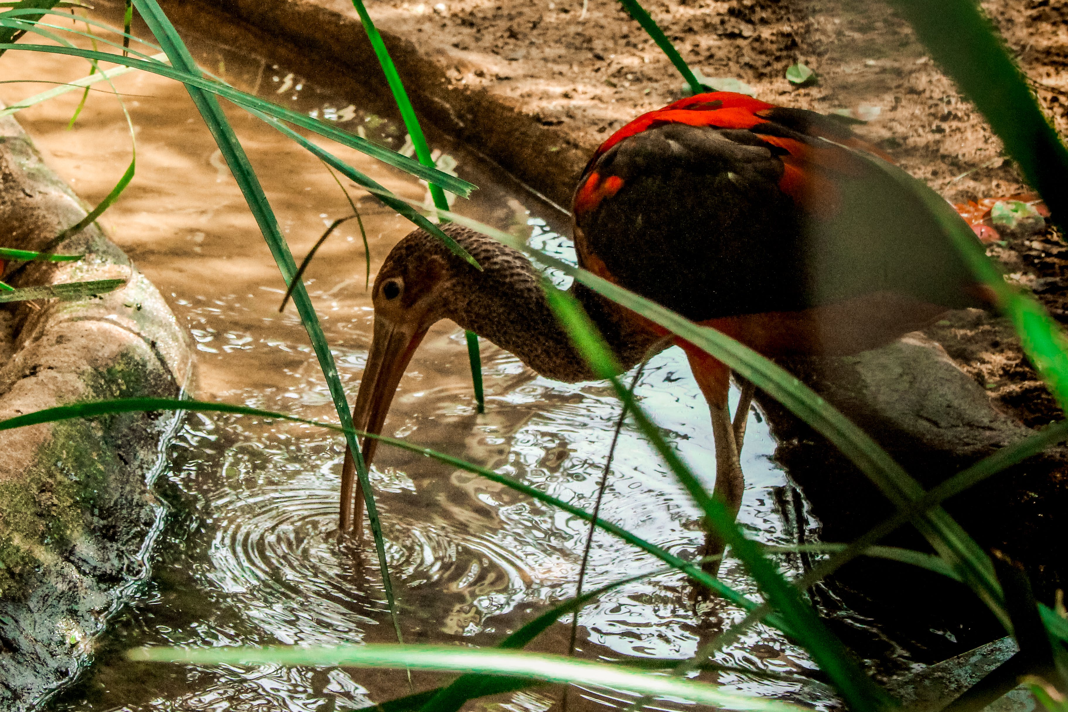 Black and Red Ibis Bird Standing on Clear Body of Water