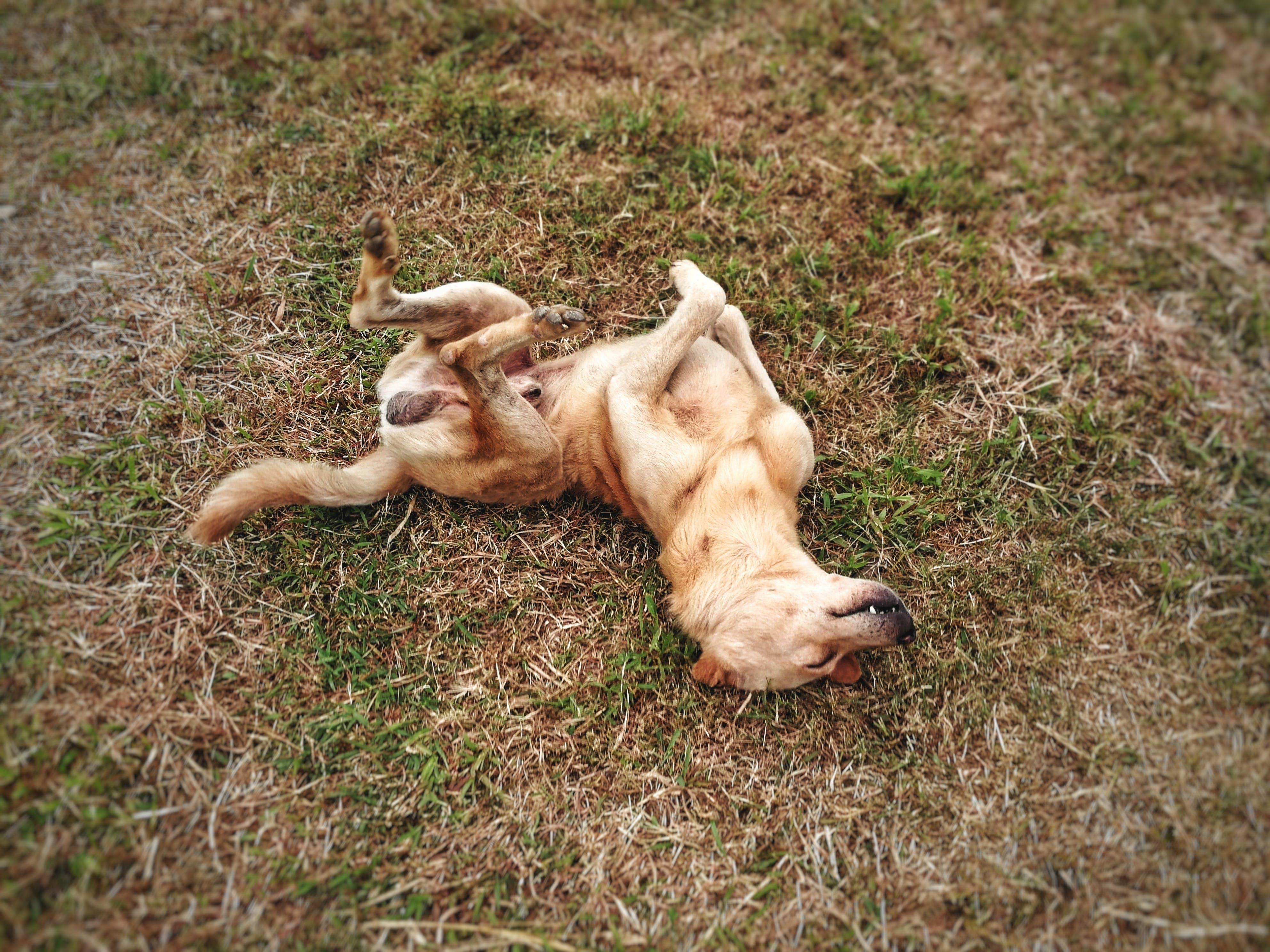 Free stock photo of dog, sleeping, brown dog, funny dog