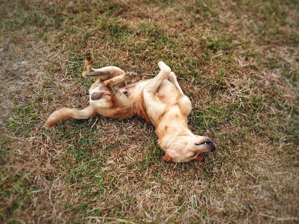 有趣的狗, 棕色的狗, 滾動的狗