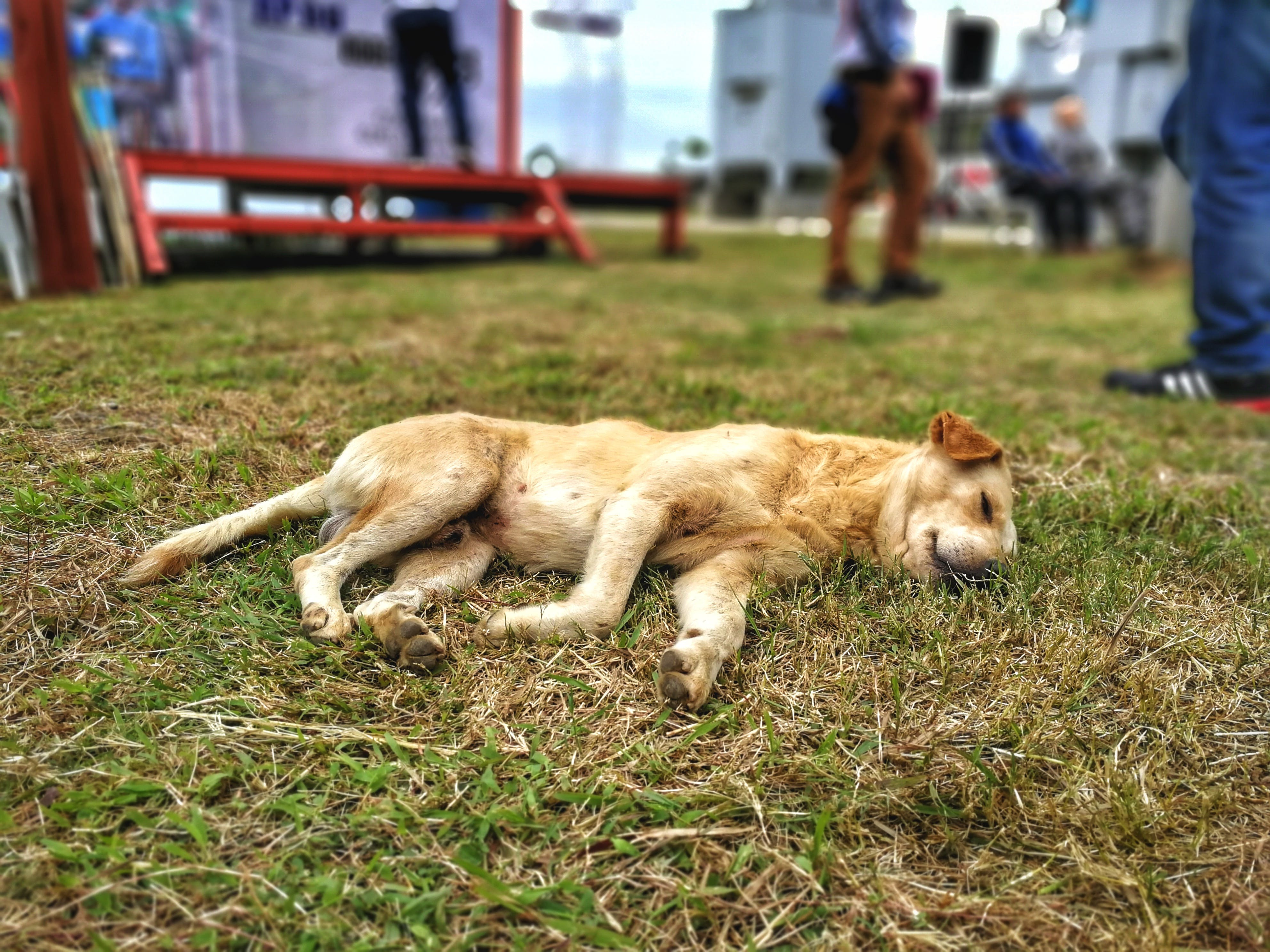 Free stock photo of dog, grass, sleeping, brown dog