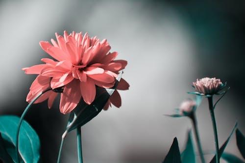 Ilmainen kuvapankkikuva tunnisteilla elämää luonnossa, kauniit kukat, luontoäiti, pinkki kukka