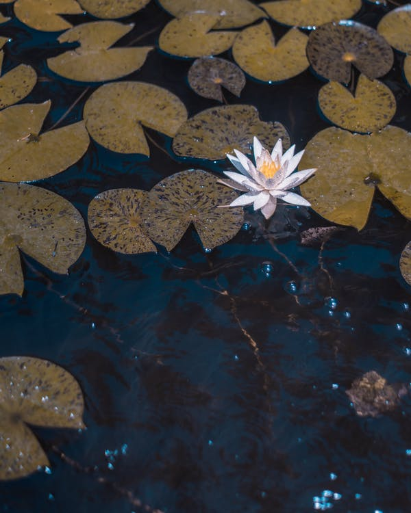 Photo White Water Lily Flower on Body of Water Surrounded by Leaves