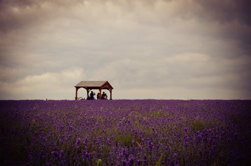 Free stock photo of england, farm, lavender