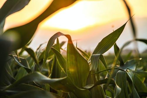 天性, 太陽, 玉米, 田 的 免费素材照片