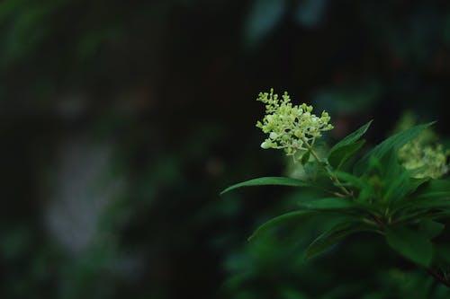 Foto d'estoc gratuïta de flor blanca, fulles, hortènsia, jardí