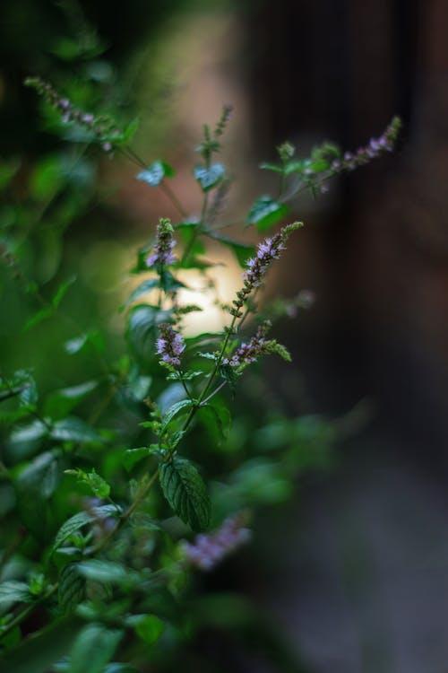 Foto d'estoc gratuïta de flor, fulles de menta, jardí, jardins botànics