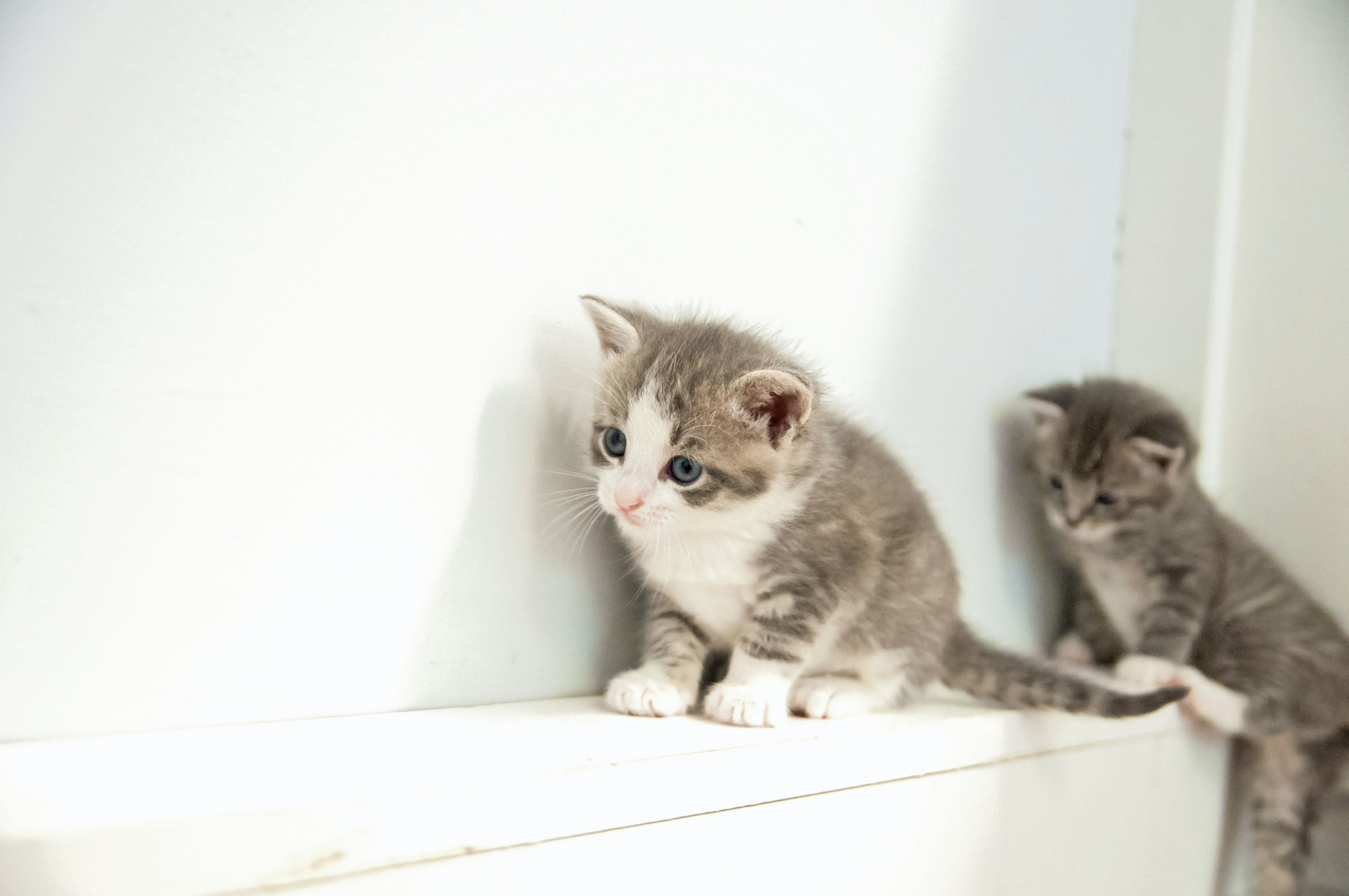 Free stock photo of babies, grey, kittens, kitty