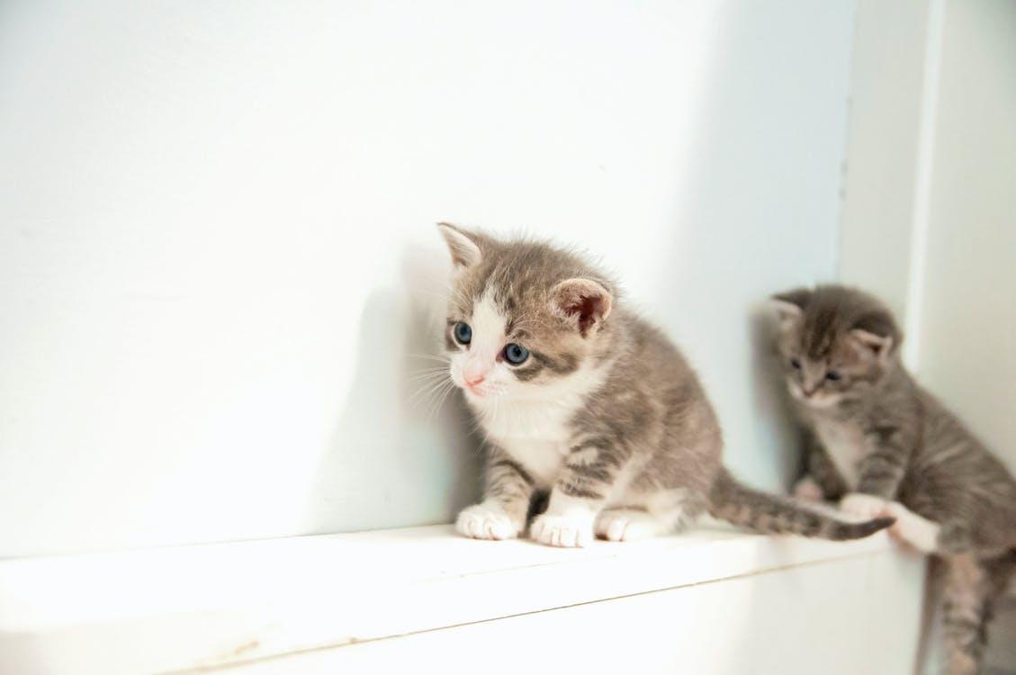 Immagine gratuita di gattini, gattino, grigio
