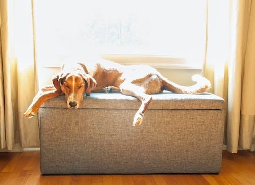 Kostnadsfri bild av fönsterplats, foxhound, hund, hundhund