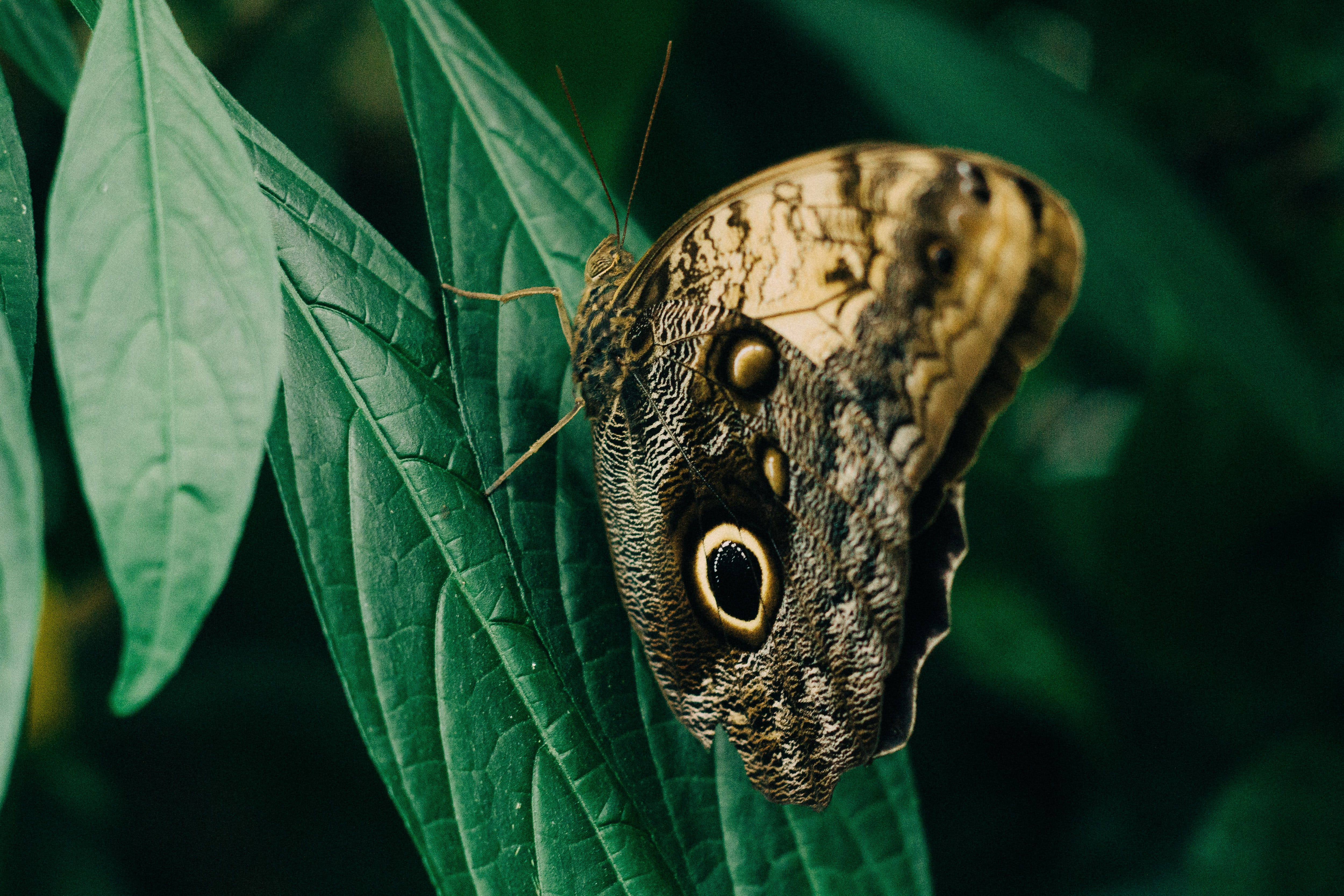 Closeup Photography of Owl Butterfly Perched on Green Leaf