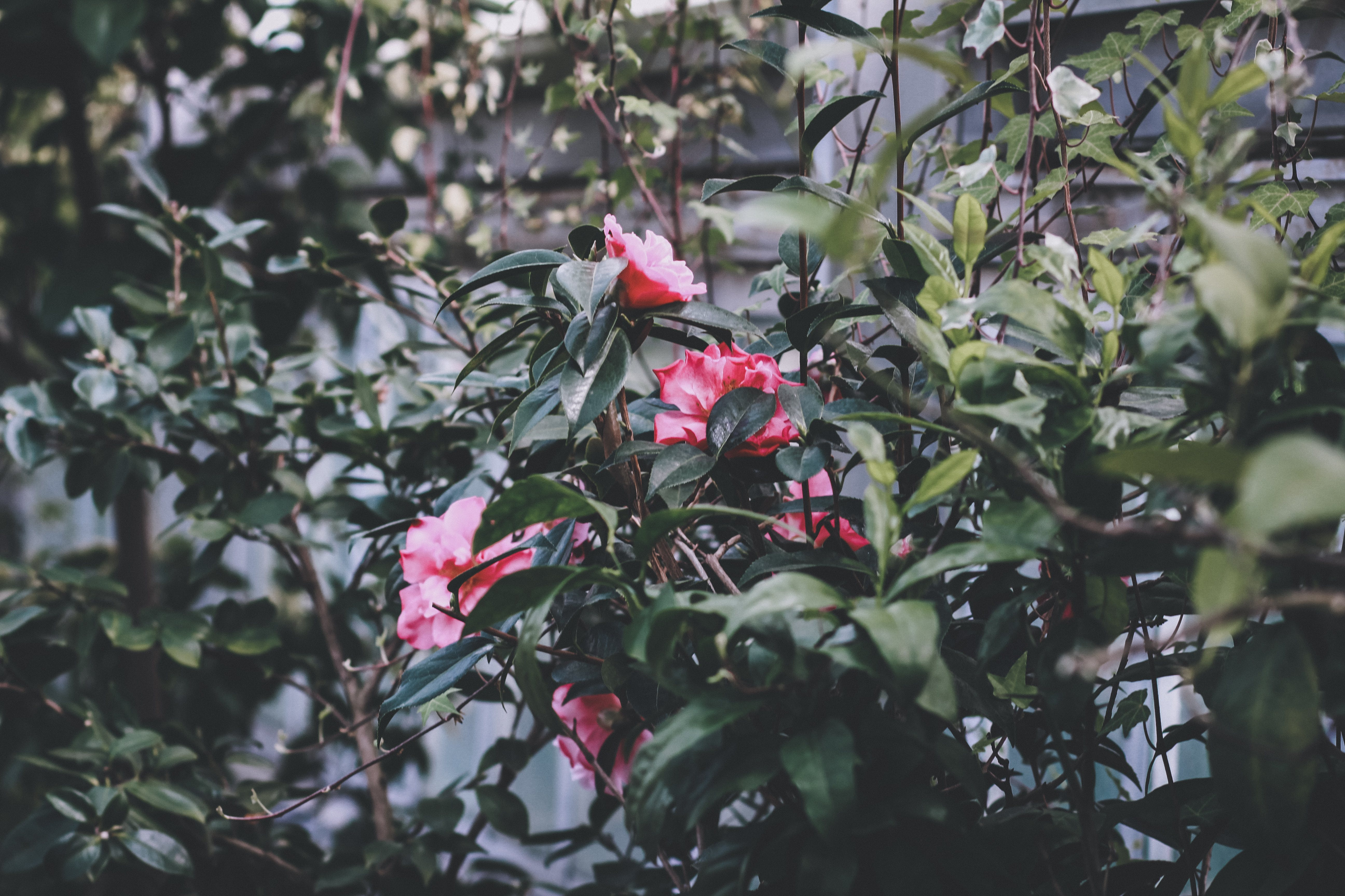 Free stock photo of floral, flowers, green leaves, leaves
