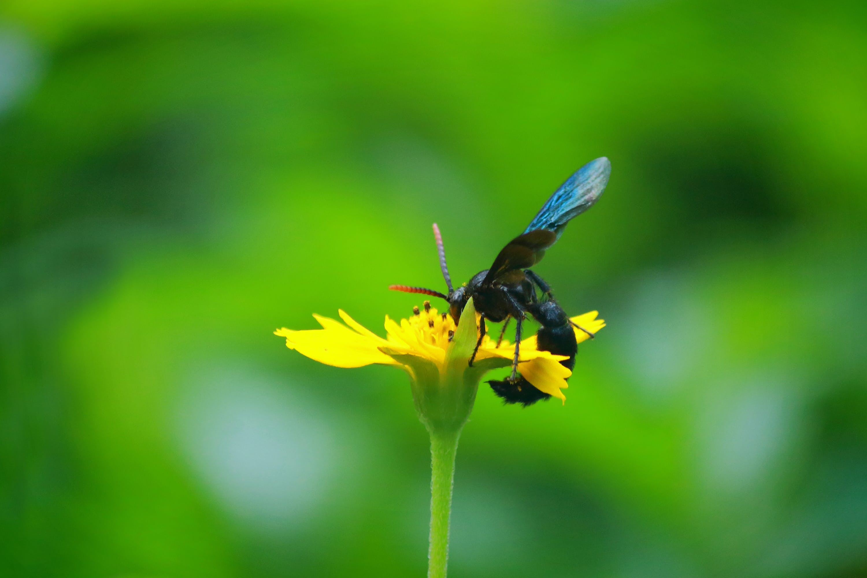 Free stock photo of bee, bloom, blue, Blue mud wasp