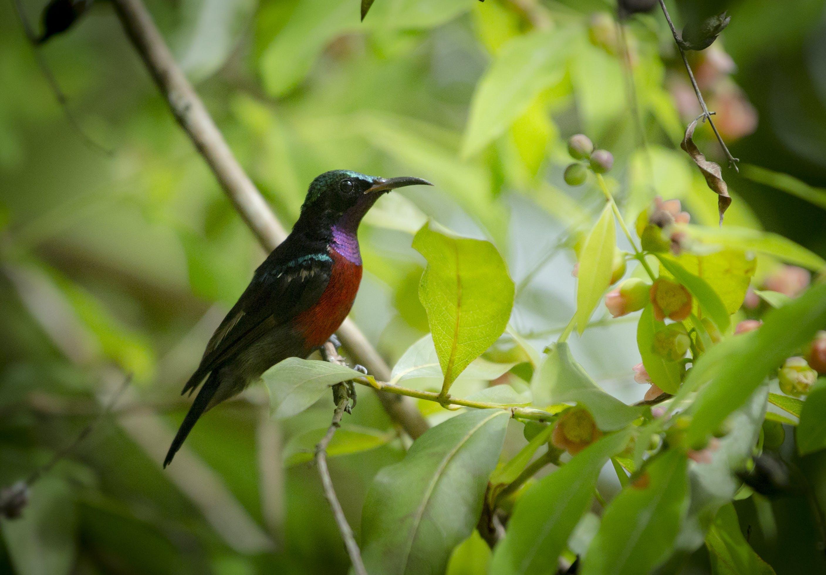 Ingyenes stockfotó #madarak, sunbird, természet témában