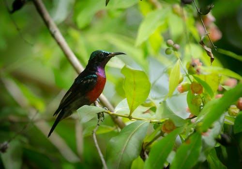 Kostnadsfri bild av #fåglar, natur, sunbird