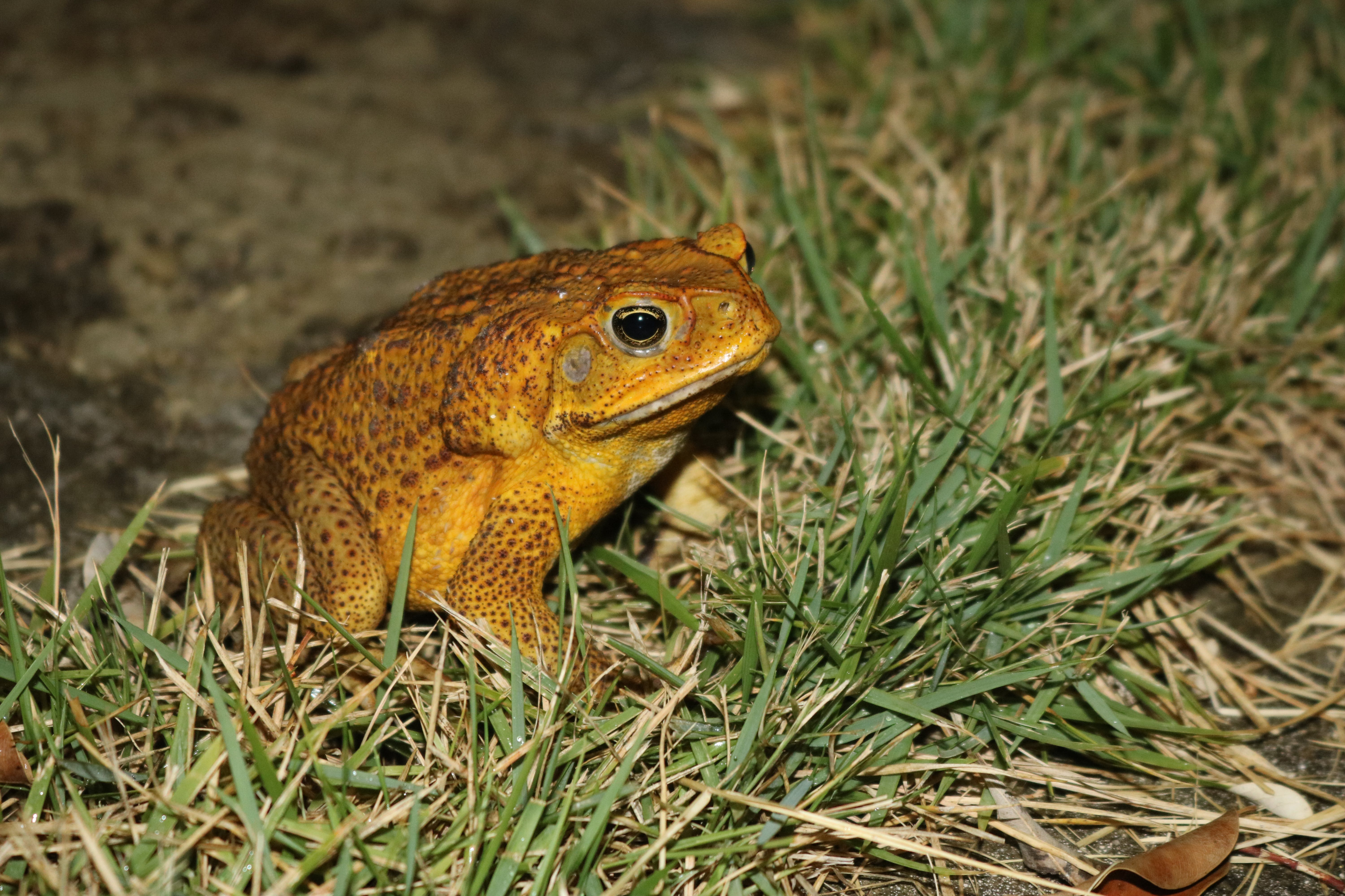 Free stock photo of frog