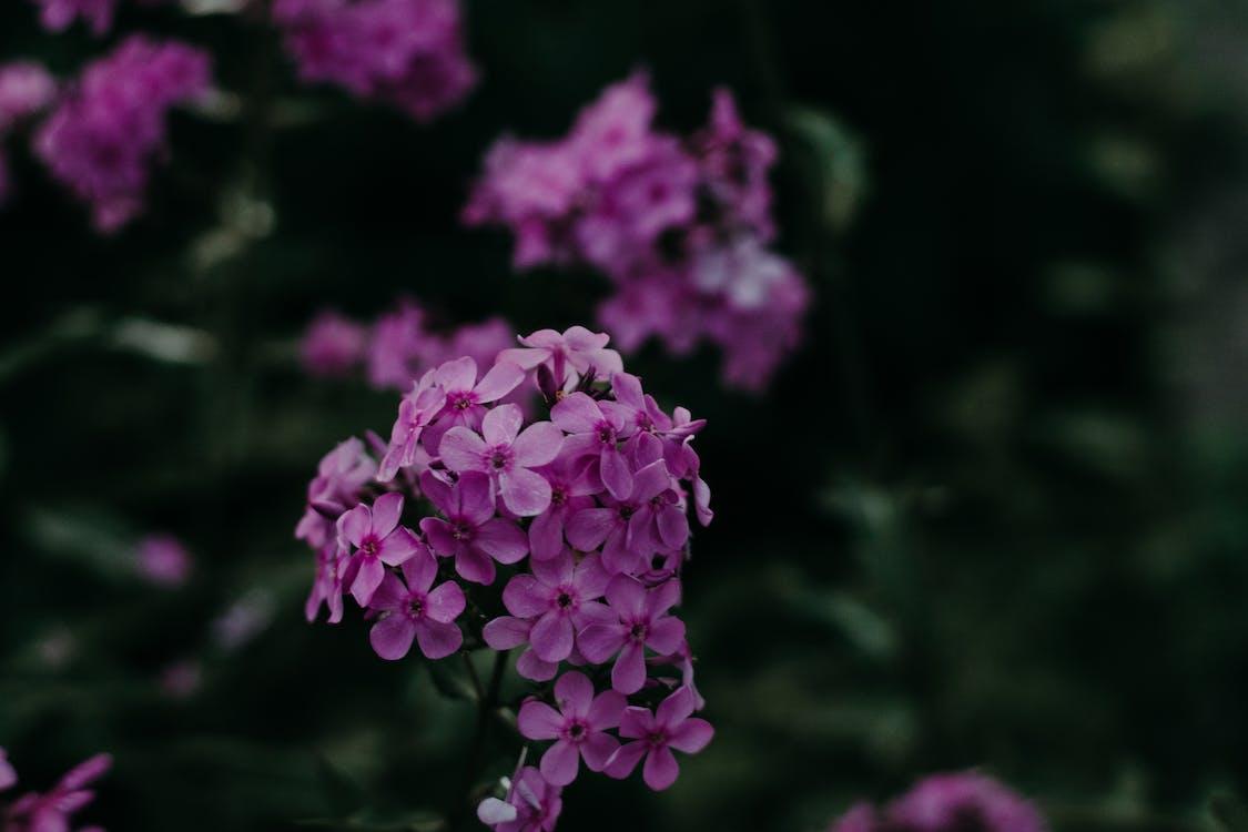 delikatny, fioletowe kwiaty, flora