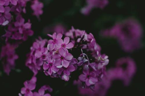Безкоштовне стокове фото на тему «ботанічний, бузок, вродлива, делікатний»