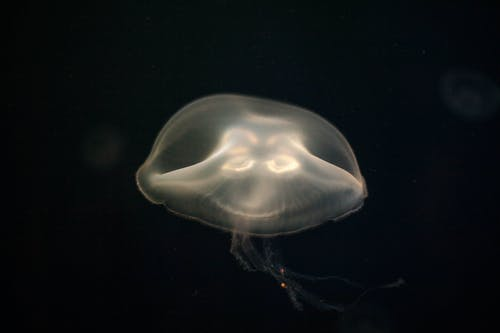 Foto stok gratis ubur-ubur