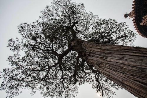 Foto stok gratis #pohon, oldtree, tiongkok