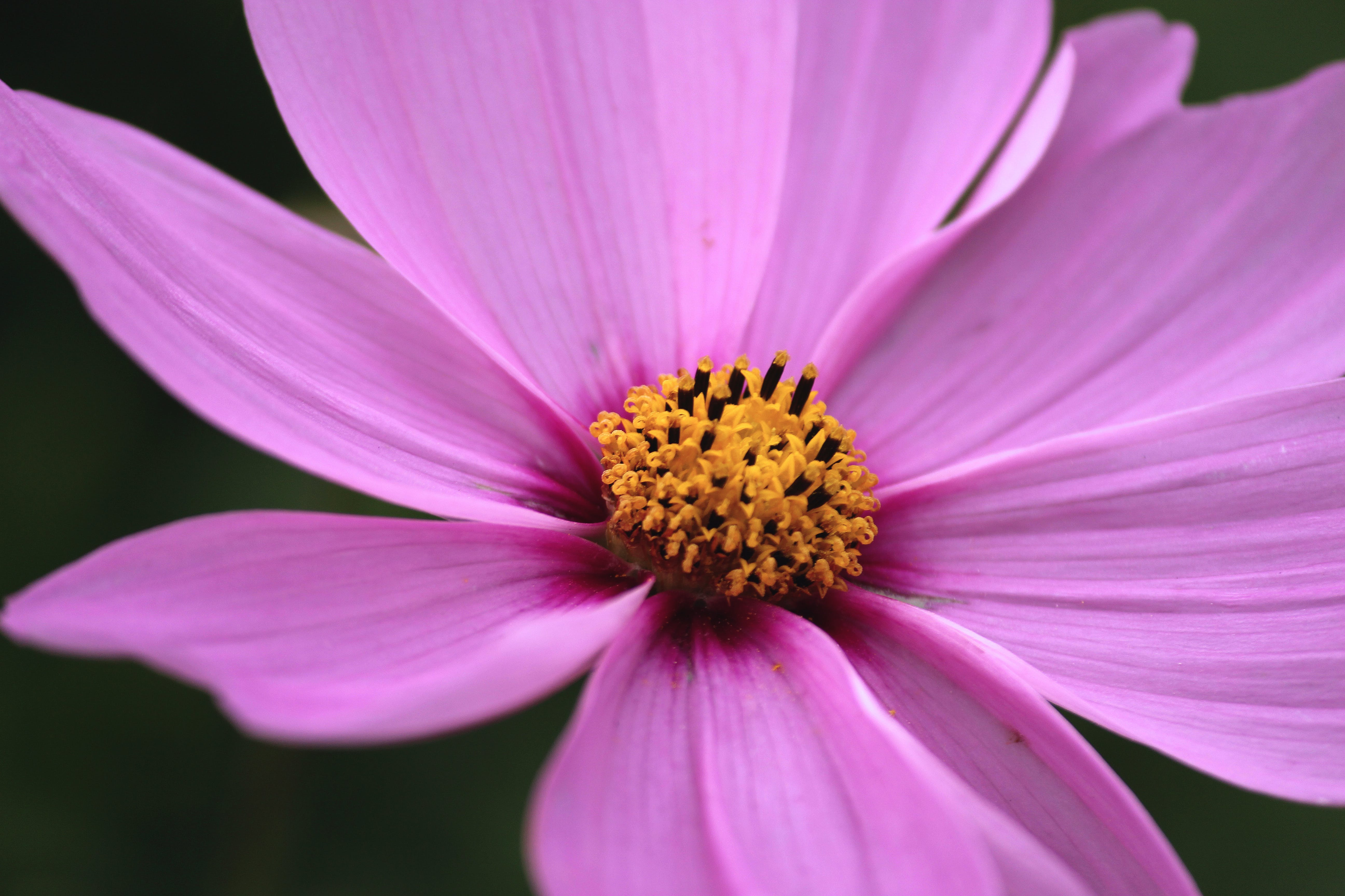 Free stock photo of beautiful, cup flower, flower, macro photo