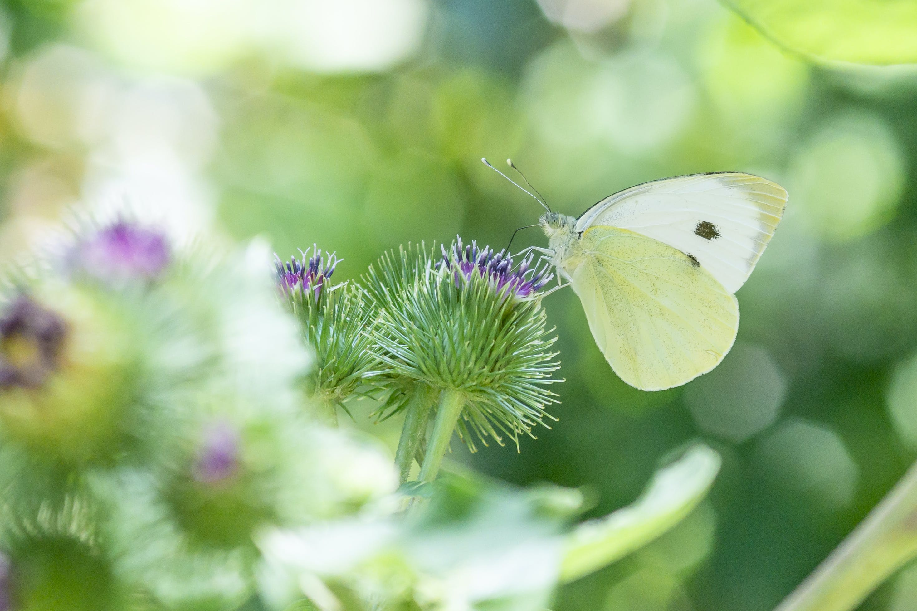 Cabbage White Butterfly Perching on Purple Flower in Selective Focus Photography
