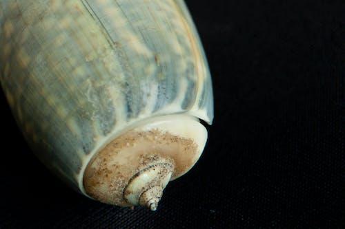 Бесплатное стоковое фото с морские ракушки