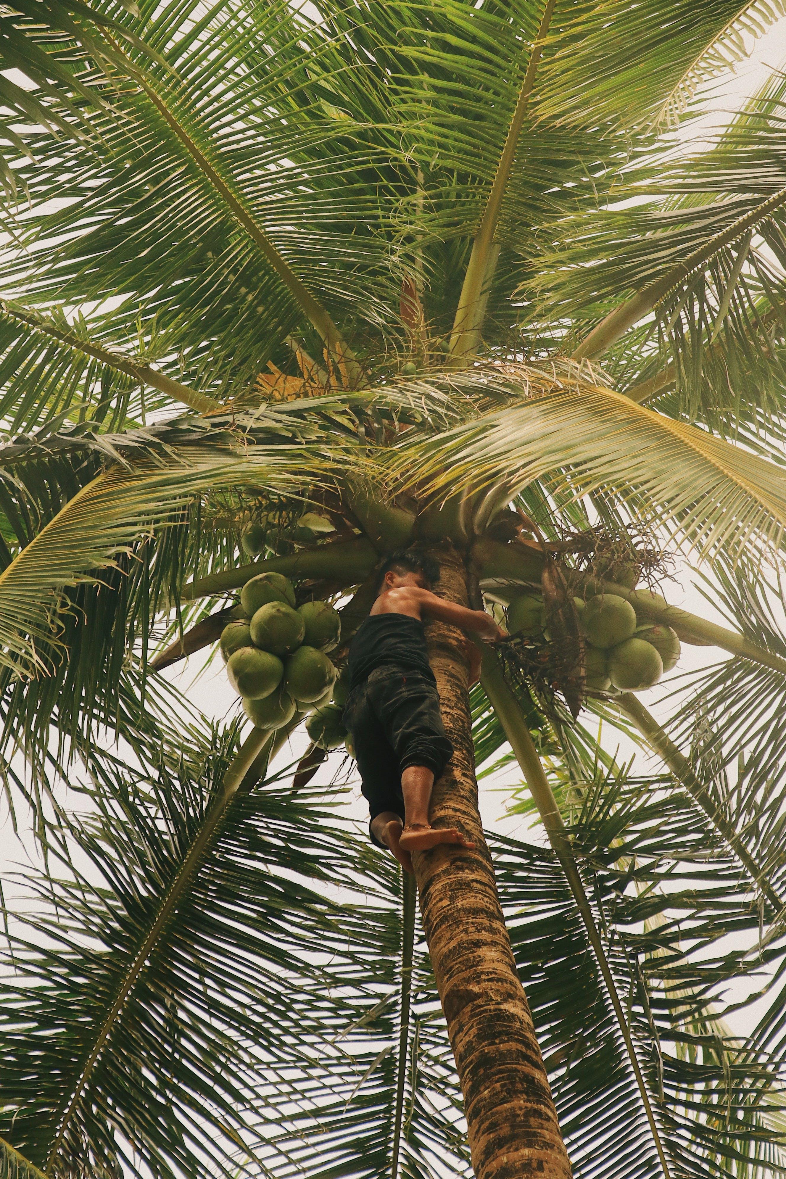 Boy Climbing on Coconut Tree