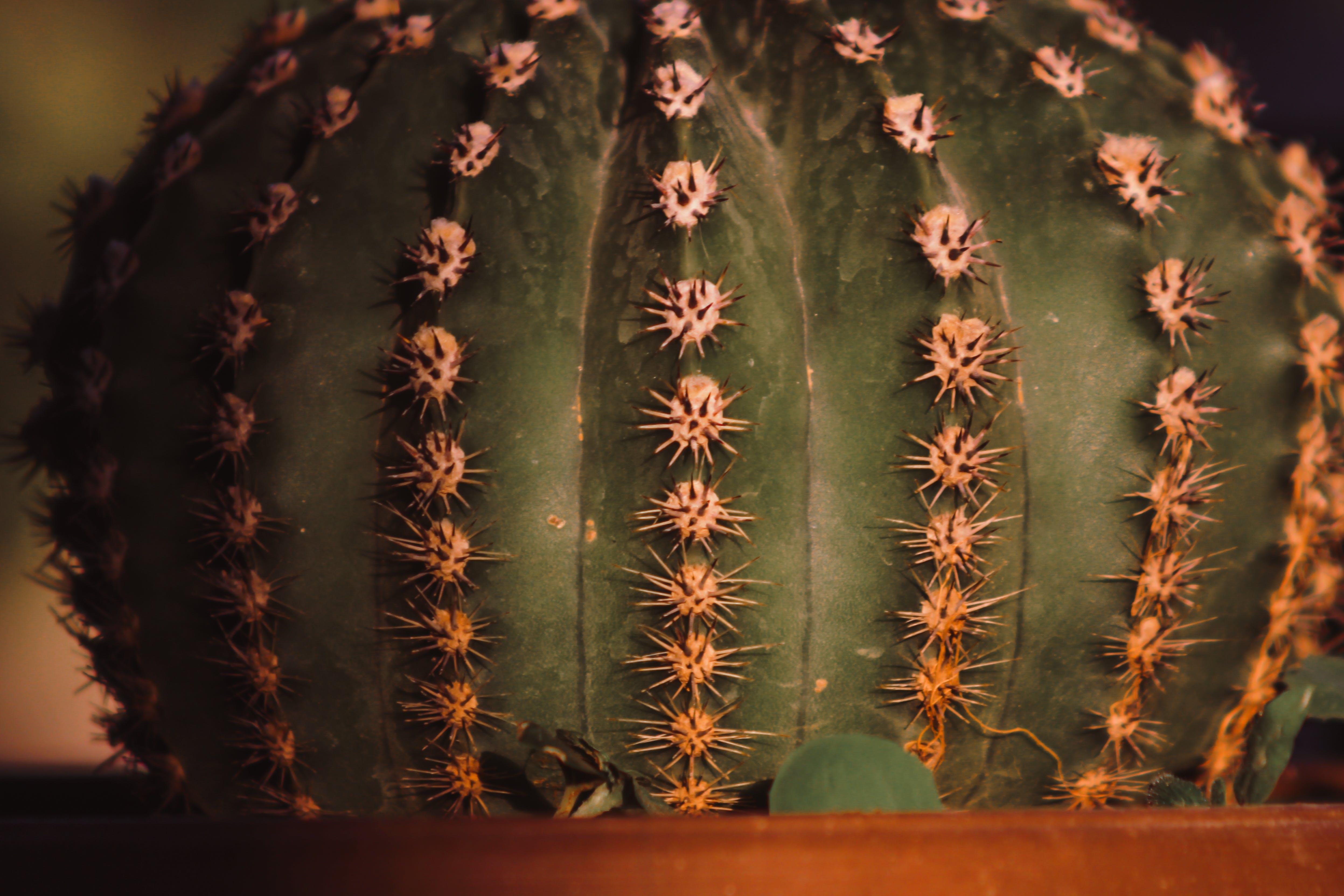 Kostenloses Stock Foto zu kaktus, nahansicht, pflanze