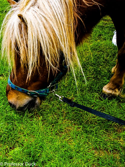 Ilmainen kuvapankkikuva tunnisteilla hevonen, poni, poni ruokkii ruohoa