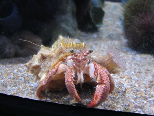 寄居蟹, 海上生活, 螃蟹 的 免费素材照片
