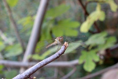 蜻蜓 的 免费素材照片