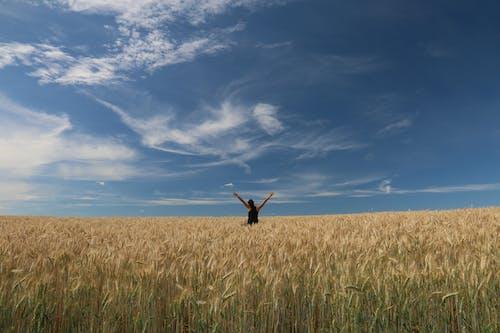 Бесплатное стоковое фото с акр, голубое небо, зерно, лето