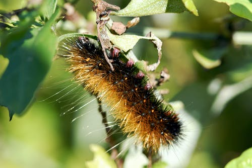Free stock photo of catterpillar, feeding, insect, pest