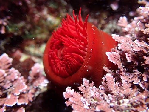 水下, 海上生活, 紅色, 觸手 的 免费素材照片