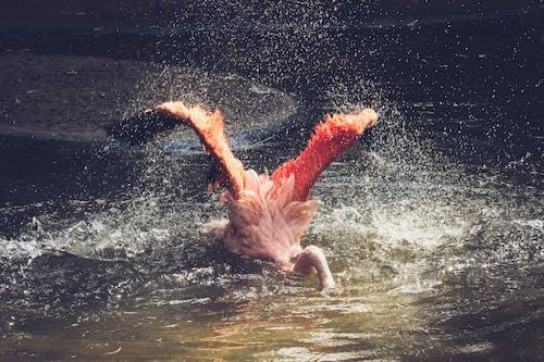 Flamingo Bathing on Calm Water