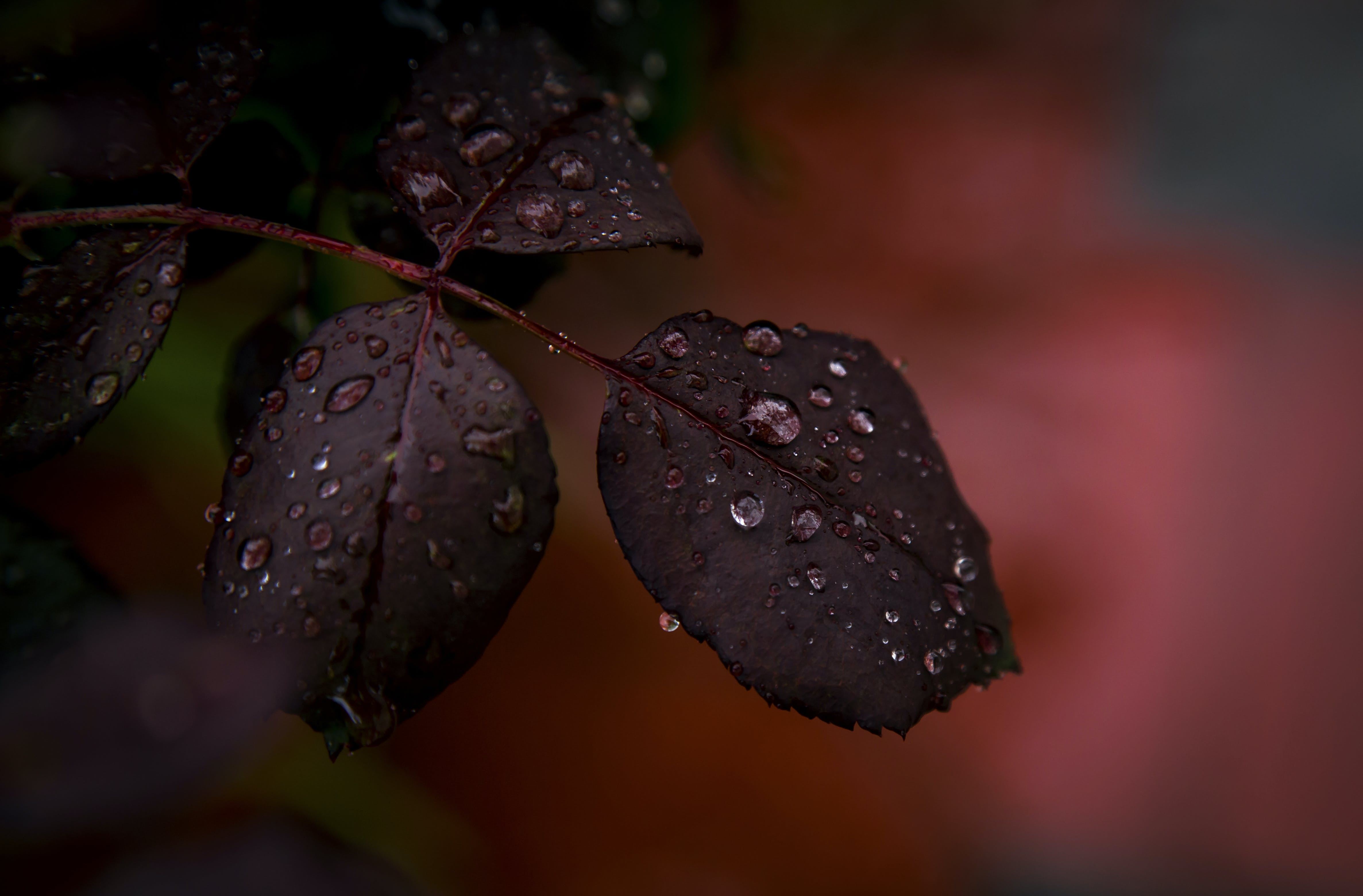 Closeup Photography of Red Plant With Water Droplets