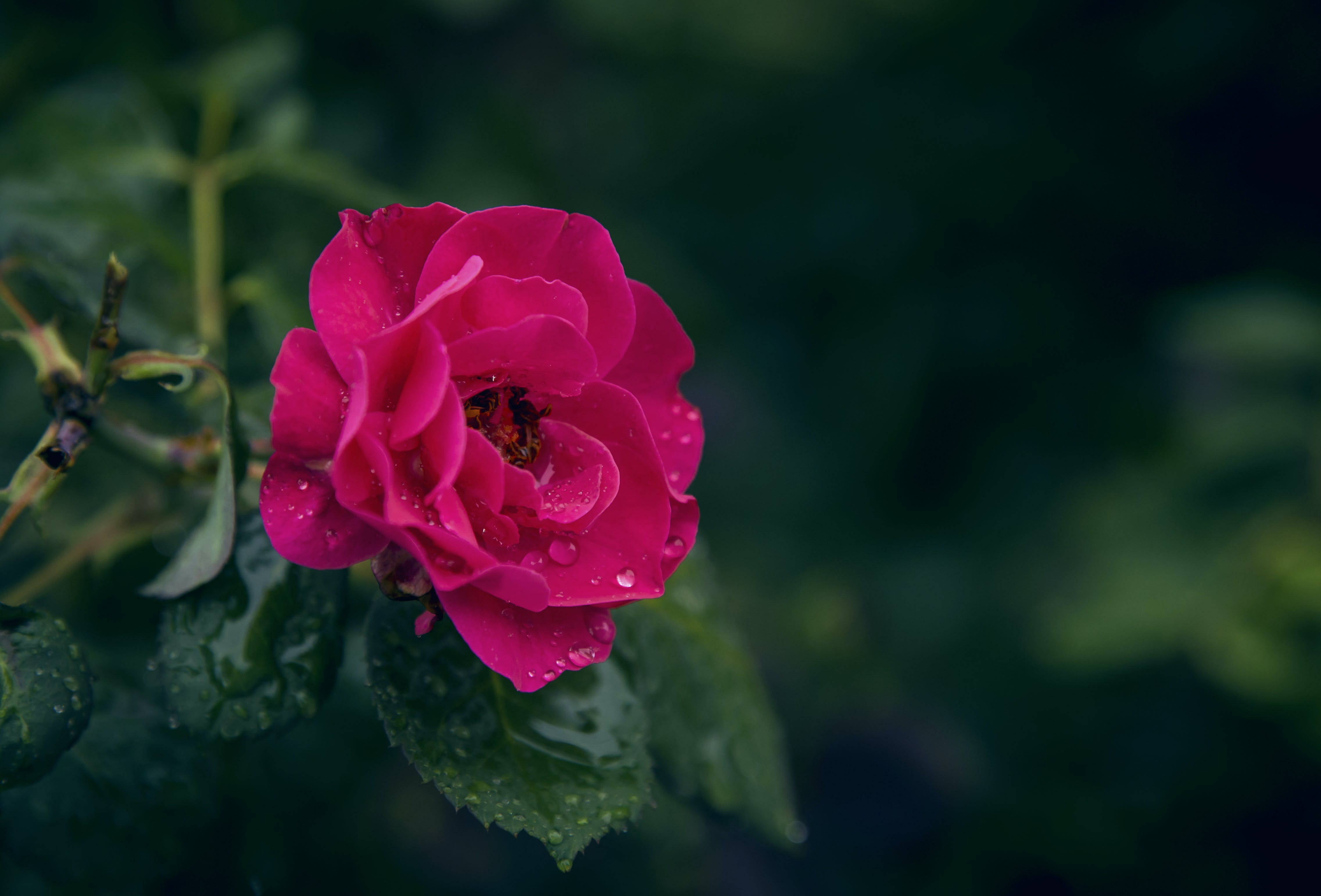 Selective Focus Photography of Pink Rose Flower With Water Droplets