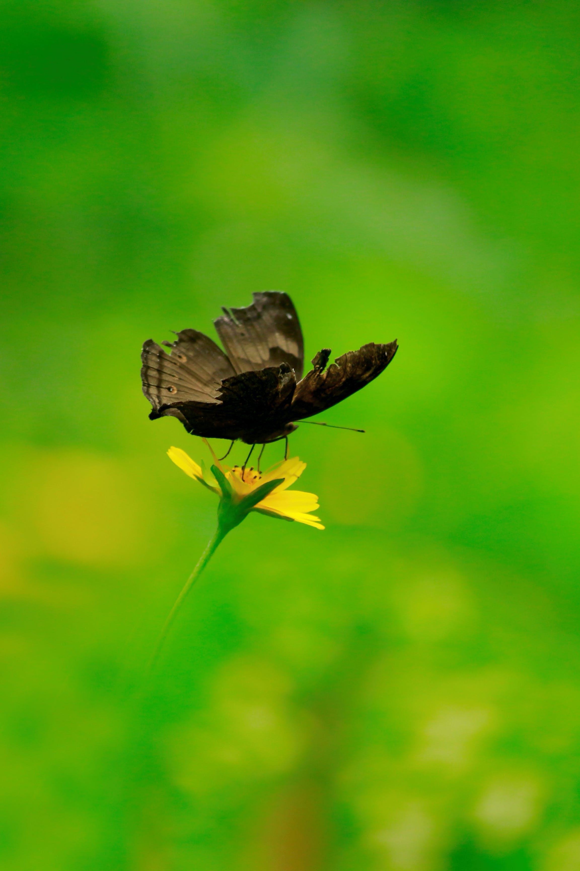 Free stock photo of asia, brown, butterfly, Chocolate Pansy